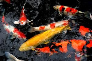内宮の池にいる金色の鯉